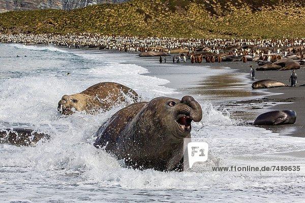 Bulle Stier Stiere Bullen Hafen Herausforderung Gold Südlicher Seeelefant Mirounga leonina sich paaren Paarung Südatlantik Südgeorgien