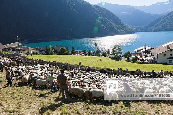 Transhumance - the great sheep trek across the main alpine crest in the Oetztal Alps between South Tyrol  Italy  and North Tyrol  Austria The sheep arrive in the village of Vernagt vernago where a big folk festival takes place After arriving in the valley the sheep are being kept in a pen  where the farmers select their sheep also called ´returning of the sheep´ This very special sheep drive is part of the intangible cultural heritage of the austrian UNESCO Commission Since the 14th century mountain farmers from South Tyrol  Alto Adige  valleys of Schnalstal  Val Senales and Vinschgau  Val Venosta  have grazing rights on the northern side of the Alps near Vent in the Oetztal Alps Europe  Central Europe  Italy  September 2012