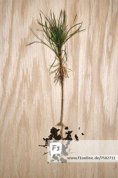 hoch  oben  Wurzel  Kiefer  Pinus sylvestris  Kiefern  Föhren  Pinie  Freisteller  Bäumchen