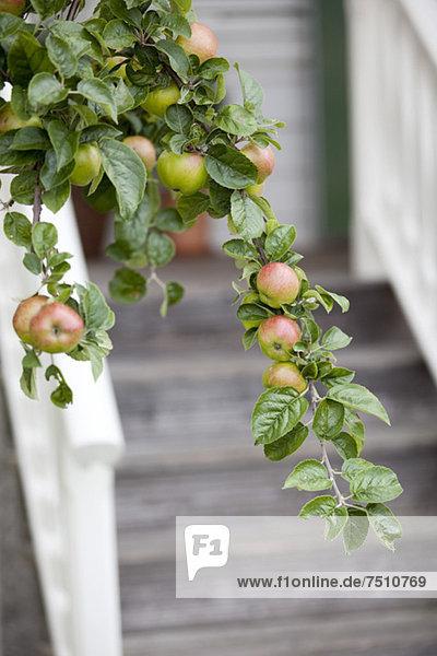 Äpfel am Baum mit Stufen im Hintergrund