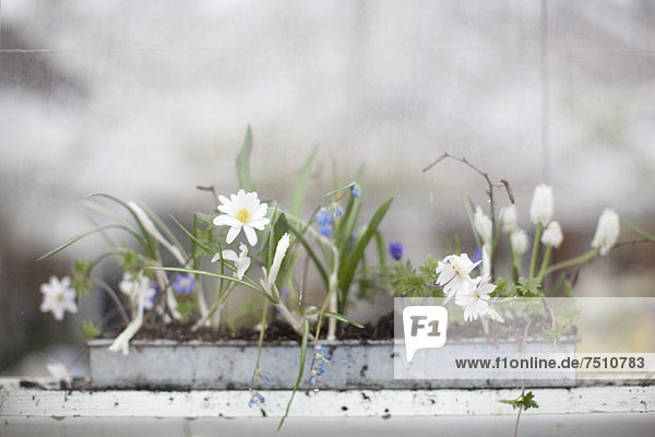 Blumenzucht in der Setzlingsschale