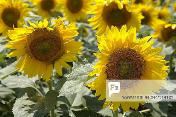 Sonnenblumen (Helianthus annuus)  Sonnenblumenfeld  Rumänien  Europa