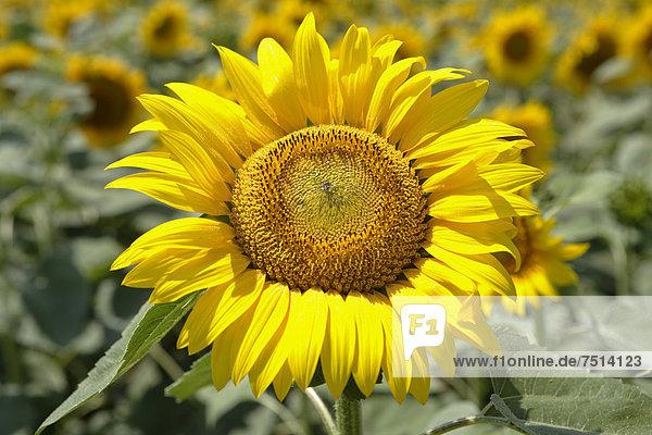 Sonnenblume (Helianthus annuus)  Sonnenblumenfeld  Rumänien  Europa
