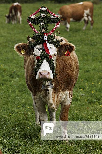 Geschmückte Kühe  Zeremonie  Abtrieb der Kühe von den Bergweiden  Sachrang  Oberbayern  Deutschland  Europa