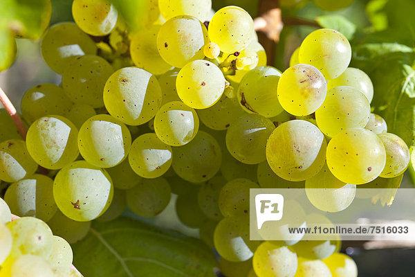 Weintrauben der Sorte Riesling in den Weinbergen von Schloss Wackerbarth  Radebeul  Sächsisches Elbland  Sachsen  Deutschland  Europa
