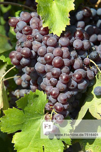 Rote Weintrauben an der Rebe  in den Weinbergen von HajÛs  Ungarn  Europa