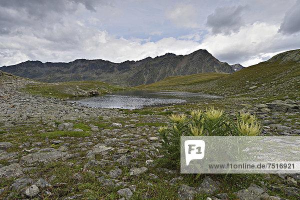 Bergsee am Timmelsjoch  im Vordergrund Alpen-Kratzdistel (Cirsium spinosissimum)  dahinter Stubaier Alpen  Timmelstal  Tirol  Österreich  Europa