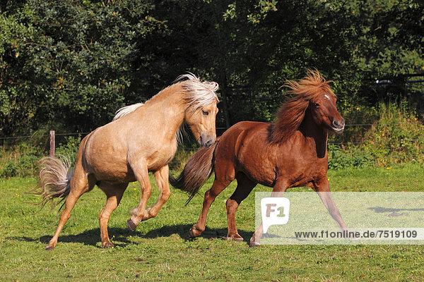 Islandpferde  Islandponys  Island-Ponys  Isländer (Equus przewalskii f. caballus)  zwei Stuten auf Weide