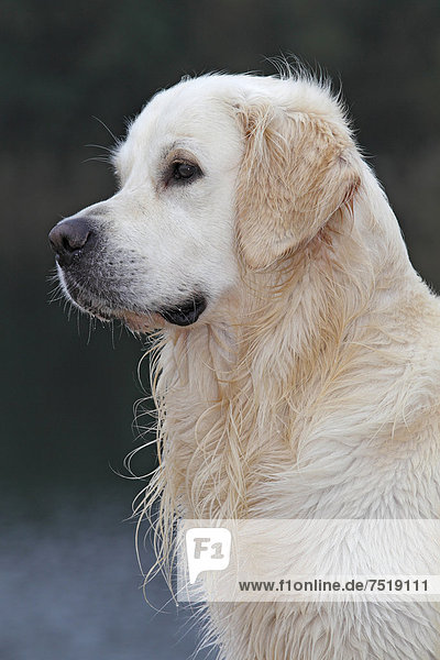 Golden Retriever (Canis lupus familiaris)  Rüde  mit nassem Fell  Porträt
