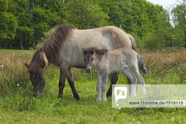 Foal and mare  Iceland horses