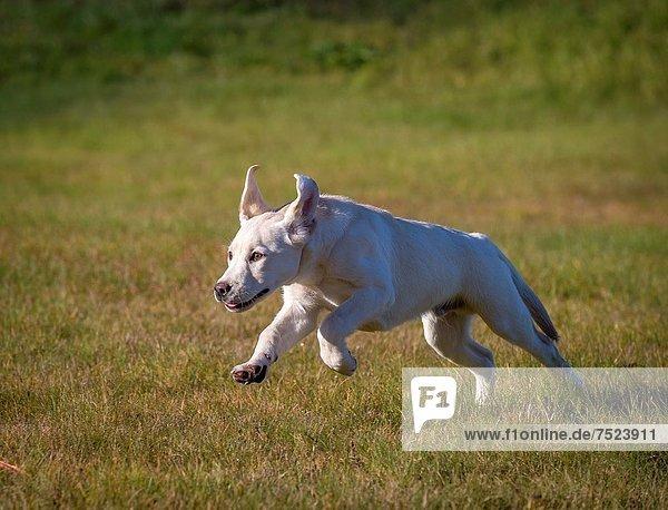 Führung  Anleitung führen  führt  führend  gelb  rennen  Hund  Training  blind  jung  Labrador  Retriever
