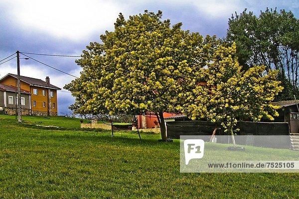 Akazie Mimose Mimosa pudica Spanien