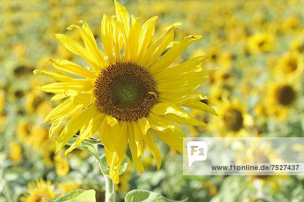Sonnenblumen (Helianthus annuus)  Schwäbisch Gmünd  Baden-Württemberg  Deutschland  Europa