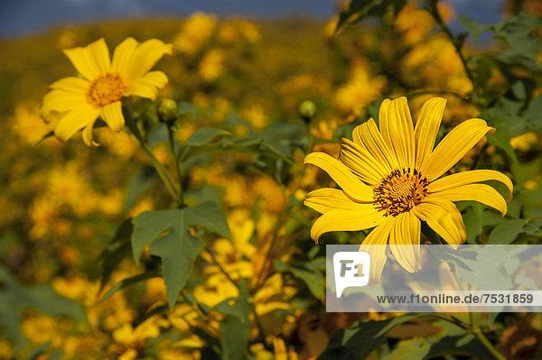 Mexikanische Sonnenblumen (Tithonia diversifolia)  Thung Dok Bua Tong  Amphoe Khun Yuam  Mae Hong Son Provinz  Nordthailand  Thailand  Asien