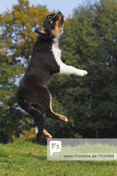 Australian Shepherd Black Tri Rüde  Welpe  springt