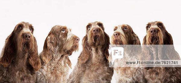 Gruppe von identischen Hunden  die zusammen sitzen Gruppe von identischen Hunden, die zusammen sitzen