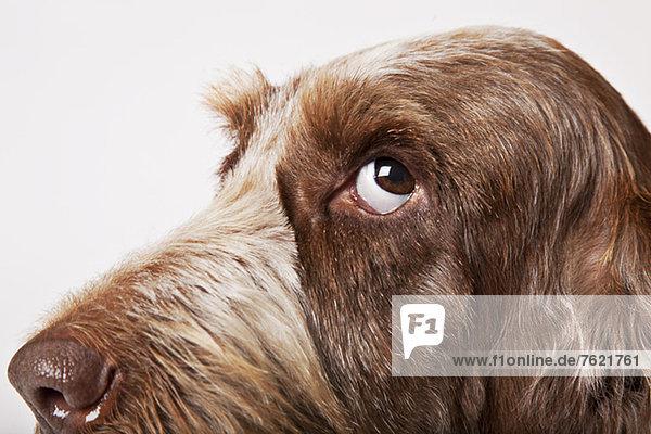 Nahaufnahme des Hundegesichtes Nahaufnahme des Hundegesichtes
