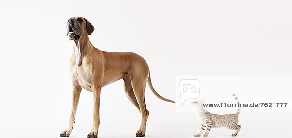 Eine Katze  die sich an einen heulenden Hund anschleicht. Eine Katze, die sich an einen heulenden Hund anschleicht.