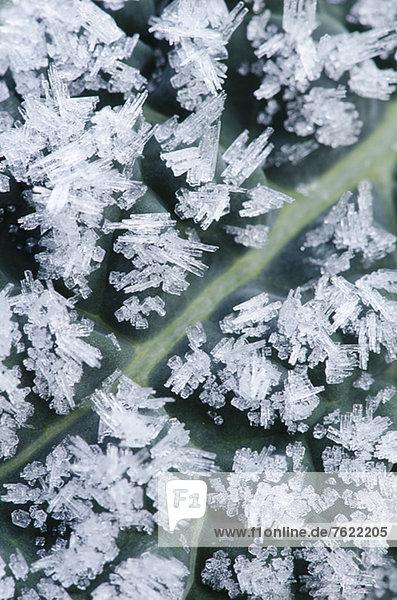 Nahaufnahme von Frostkristallen auf Dinosaurier-Kohlblatt