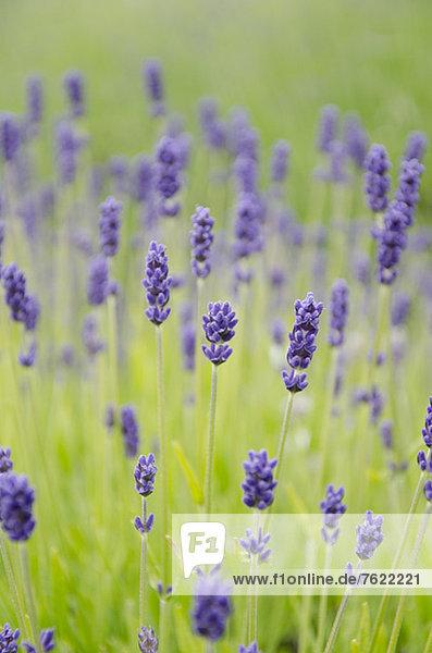 Nahaufnahme von Lavendelblüten im Feld