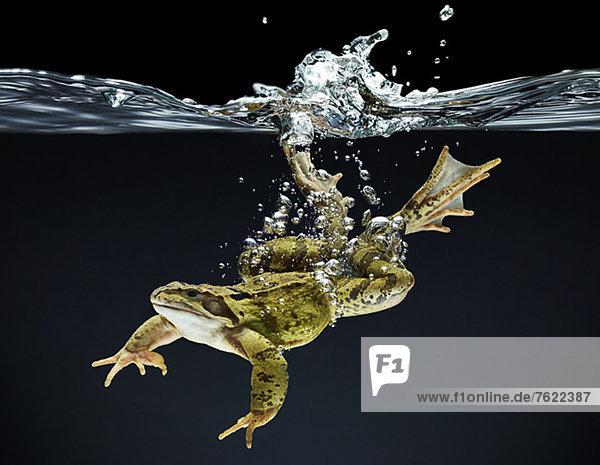 Frosch schwimmend unter Wasser Frosch schwimmend unter Wasser