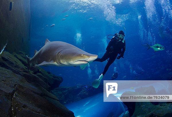 Sandtigerhai und Taucher