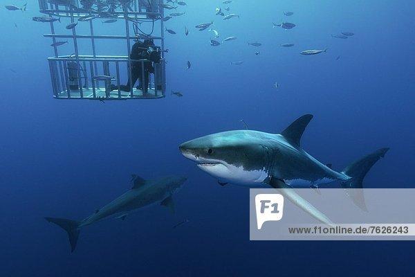 Zwei Große Weiße Haie (Carcharodon carcharias) und Taucher im Käfig  Guadalupe  Mexiko  Unterwasseraufnahme Unterwasseraufnahme