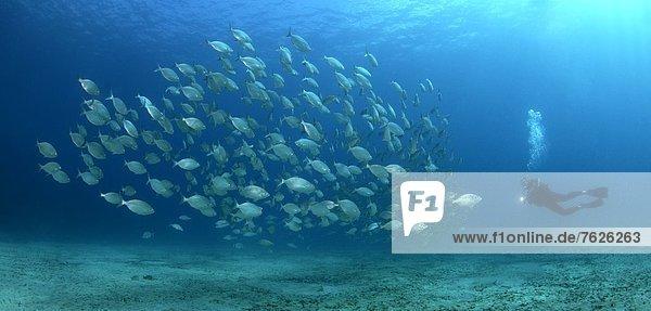 Taucher und Schwarm von Goldstriemenbrassen (Sarpa salpa)  Morro del Jable  Fuerteventura  Kanaren Unterwasseraufnahme Fischschwarm Unterwasseraufnahme