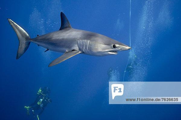 schwimmen  Taucher  Hai