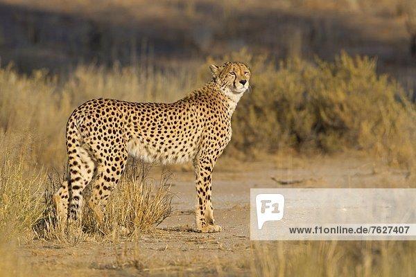 Gepard (Acinonyx jubatus)  Nossob Riverbed  Botswana