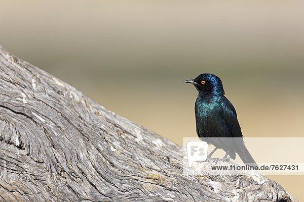 Rotschulter-Glanzstar (Lamprotornis nitens)  Rietfontein  Namibia
