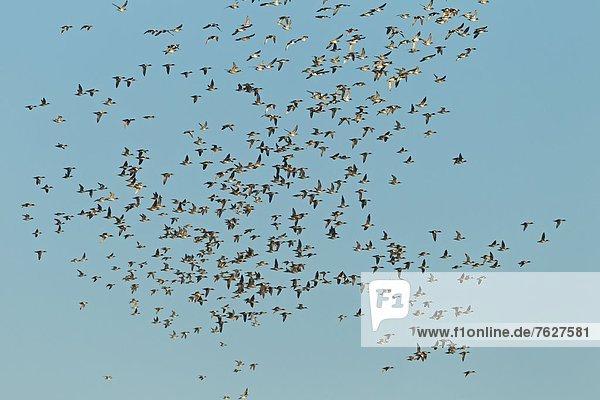 Schwarm Pfeifenten (Anas penelope) im Flug