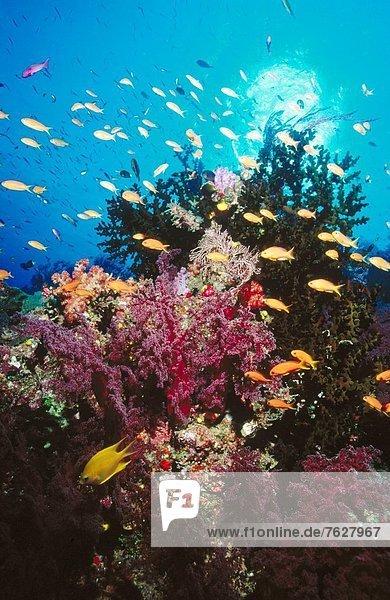 Coral Reef and Anthias Namena Island Fiji