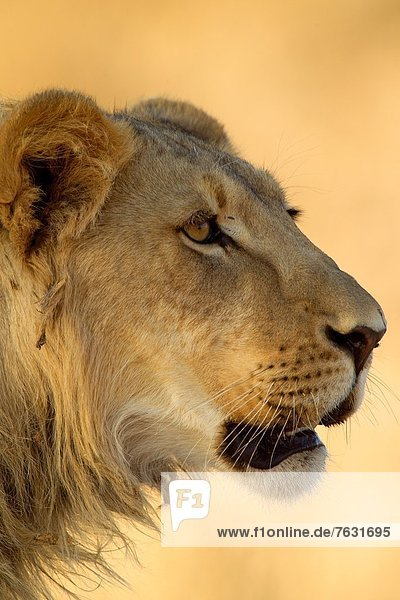 Südliches Afrika  Südafrika  Raubkatze  Löwe  Panthera leo  jung  Löwe - Sternzeichen