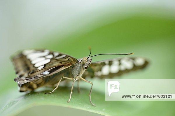 Schmetterling Parthenos sylvia auf einem Blatt Schmetterling Parthenos sylvia auf einem Blatt