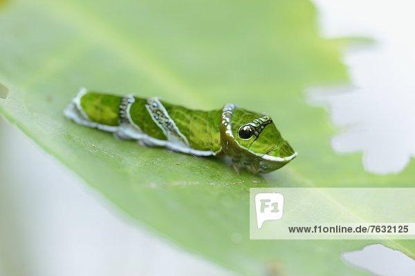 Larve eines Schmetterlings Papilio polytes Larve eines Schmetterlings Papilio polytes