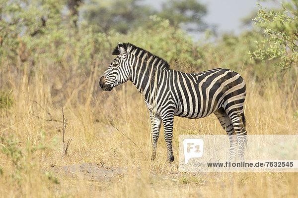 Steppenzebra (Equus quagga)  Mudum-Nationalpark  Caprivizipfel  Namibia  Afrika