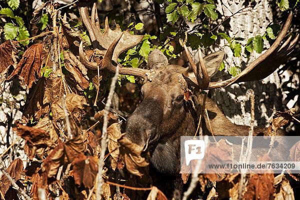 Elch (Alces alces)  Bulle  Alaska