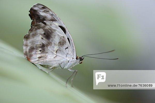 Schmetterling Catonephele numilia auf einem Blatt