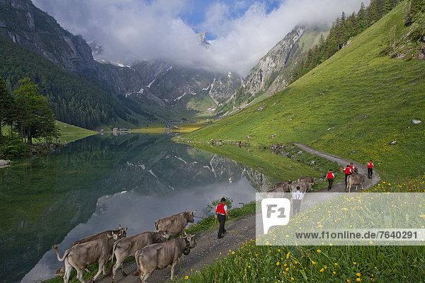 Hausrind Hausrinder Kuh Europa Berg Tradition fahren Landwirtschaft See Zeremonie Folklore Bergsee Schweiz