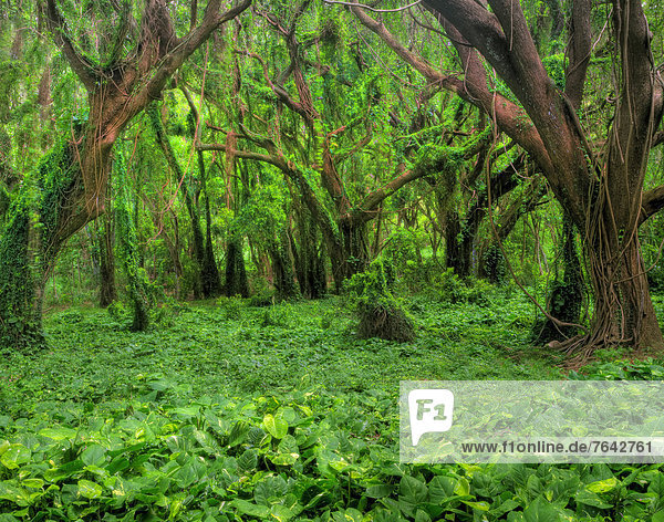 USA  United States  America  Hawaii  Maui  Tree  Forest  Vine  jungle  undergrowth  rain forest  vine  hanging vine  vines  green