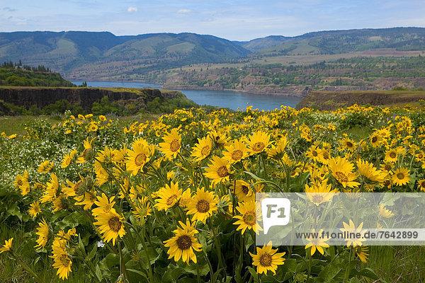 Vereinigte Staaten von Amerika  USA  Amerika  Wildblume  Sonnenblume  helianthus annuus  Zimmer  Hochebene  Oregon