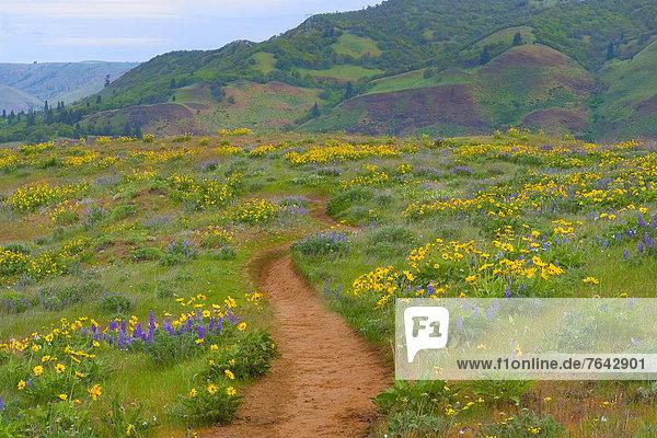 Vereinigte Staaten von Amerika  USA  Amerika  Blume  Weg  blühen  Wildblume  Zimmer  Hochebene  Oregon