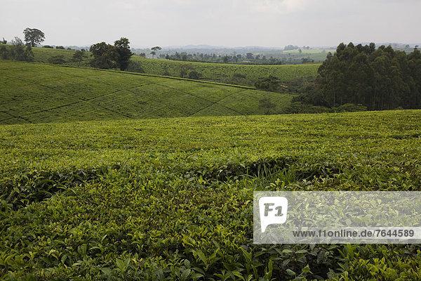 Ostafrika  Landschaft  Landwirtschaft  ernten  Pflanze  Plantage  Afrika  Schwarzer Tee  Tee  Teeplantage  Uganda