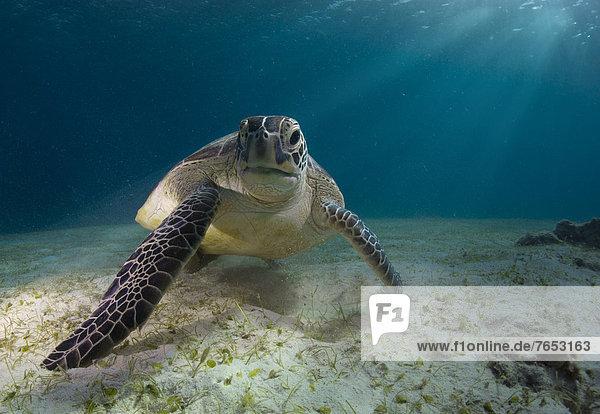 Green Sea Turtle (Chelonia mydas)  Balnek  Busuanga  Philippines  Asia