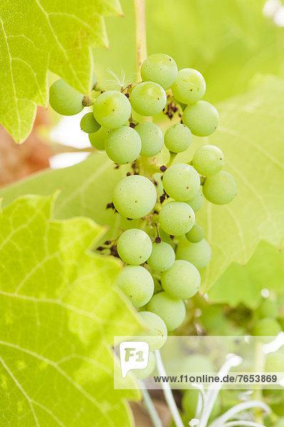 Wein  Wachstum  Weintraube