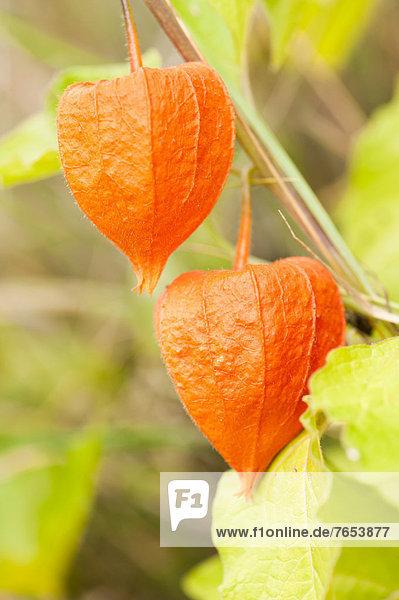 Frucht  Wachstum  chinesisch  Strauch  Laterne - Beleuchtungskörper  Kapstachelbeere  Physalis peruviana Frucht ,Wachstum ,chinesisch ,Strauch ,Laterne - Beleuchtungskörper ,Kapstachelbeere, Physalis peruviana