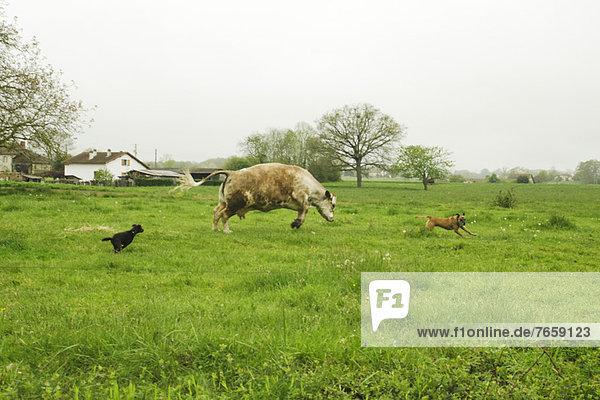 Rennen zwischen Hunden und Kühen auf der grünen Wiese  Frankreich