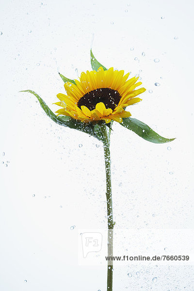 Sunflower and water drops