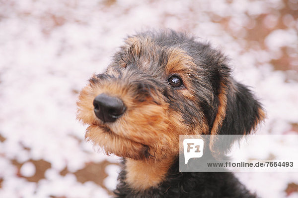 Blume  Kirsche  Terrier Blume ,Kirsche ,Terrier